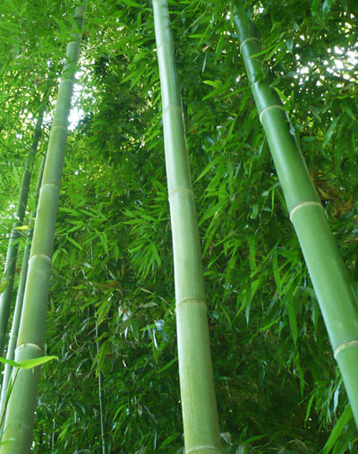 Japanese Timber Bamboo Madake