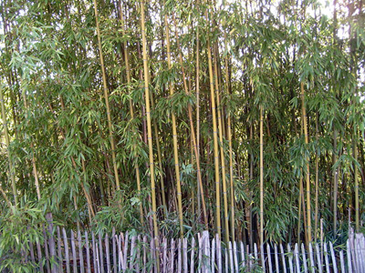 bamboo fence - Growing Bamboo