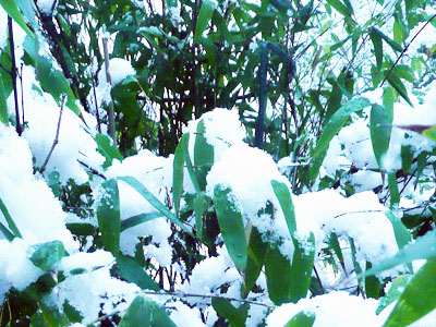 Black Bamboo covered in Snow